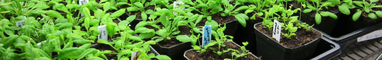 RotHdr_Arabidopsis in pots on racks_Cheung